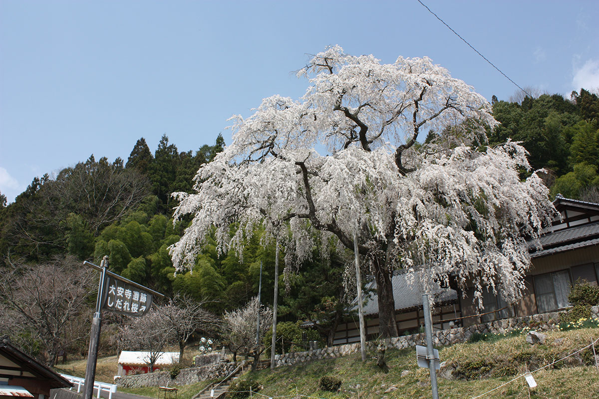 大安寺のしだれ桜